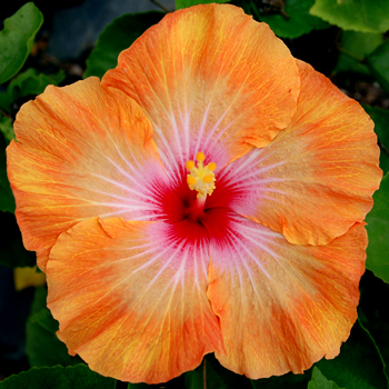Hibiscus \'Apricot Cookie\'
