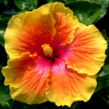 Hibiscus \'Best of Times\'
