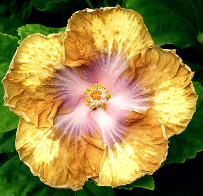Hibiscus \'Buttercup\'