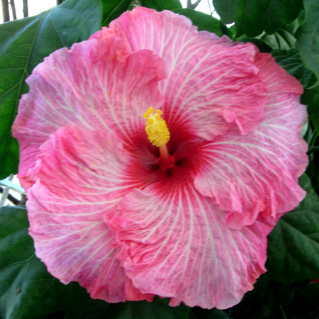 Hibiscus \'Candy Stripe\'
