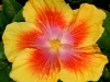 Hibiscus \'A Star is Born\'