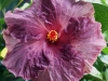 Hibiscus 'Berried Treasure'