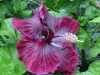Hibiscus 'Black Dragon'