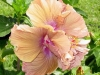 Hibiscus 'Brown Derby'