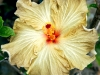 Hibiscus 'Champagne'