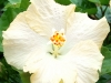 Hibiscus 'Ghost'