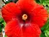 Hibiscus 'Johnny Appleseed'